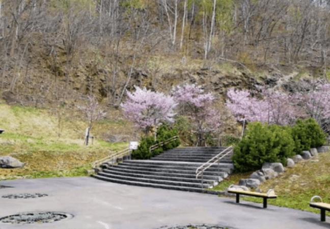 五天山公園 桜