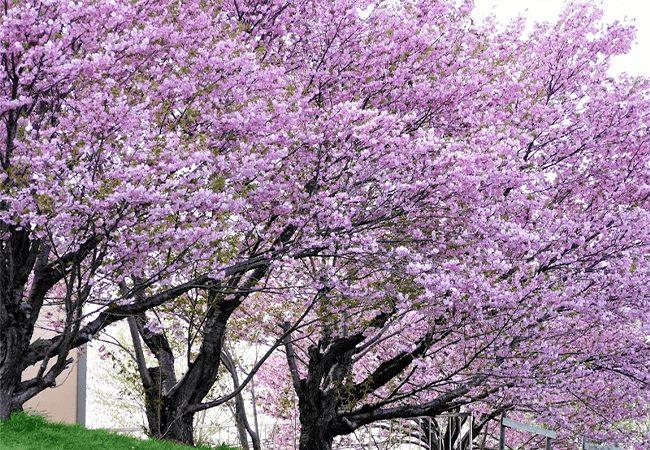美香保公園桜